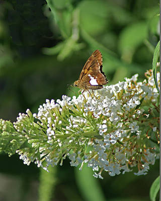 Photograph - Silver-spotted Skipper Moth by Margie Avellino