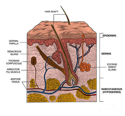skin and dermal papillae Dermal papillae from the papillary dermis contain a plexus of capillaries and lymphatics oriented perpendicular to the skin surface these fingerlike projections are surrounded by similar projections of the epidermis.
