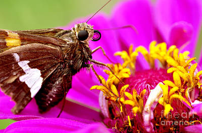 Royalty-Free and Rights-Managed Images - Skipper on Zinnia  by Thomas R Fletcher