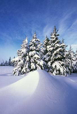 Snow-covered Pine Trees Art Print