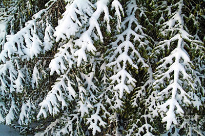 Snowy Fir Tree Art Print by Sami Sarkis