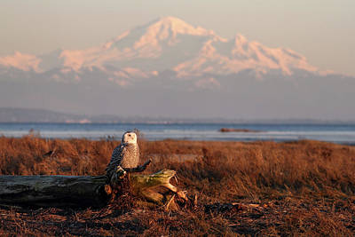 Photograph - Snowy Owl At Sunset  by Pierre Leclerc Photography