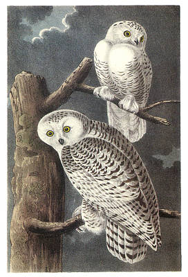 Snowy Owl Painting - Snowy Owl by John James Audubon