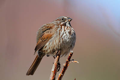 Photograph - Song Sparrow by Doug Lloyd