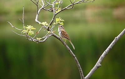 Photograph - Song Sparrow by Mary McAvoy