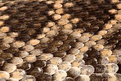 Photograph - Southern Pacific Rattlesnake Skin by Ted Kinsman