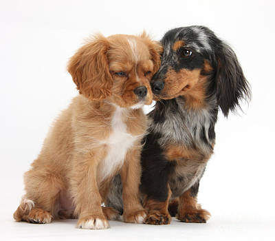 House Pet Photograph - Spaniel & Dachshund Puppies by Mark Taylor