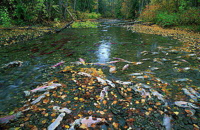 Kokanee Salmon Photograph - Spawning Sockeye Salmon, Adams River by David Nunuk