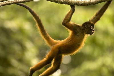 Osa Wall Art - Photograph - Spider Monkey (ateles by Roy Toft