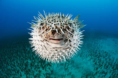 Porcupine Fish Photograph - Spotted Porcupinefish by Dave Fleetham