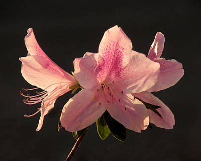 Photograph - Spring Azaleas by Peg Urban