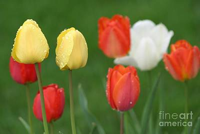 Photograph - Spring Tulips by Living Color Photography Lorraine Lynch
