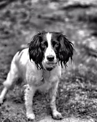 Photograph - Springer Spaniel by Marlo Horne