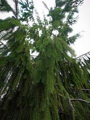 Photograph - Spruce Vigrata by Jouko Lehto