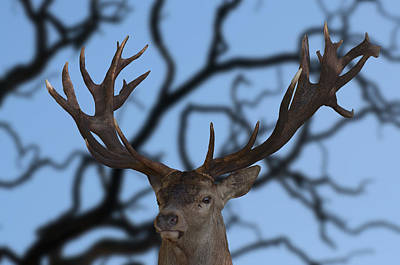 Photograph - Stag Ramifications by Michael Mogensen