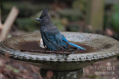 Art Print featuring the digital art Stellar Jay In The Birdbath by Carol Ailles