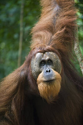 Sumatran Orangutan Male Gunung Leuser Art Print
