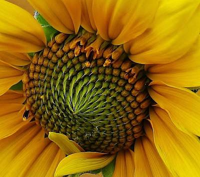 Amature Photograph - Sunflower Close Up by Bruce Bley