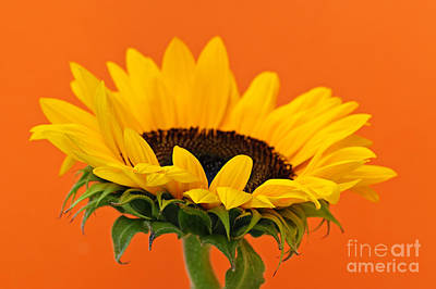 Sunflowers Royalty-Free and Rights-Managed Images - Sunflower closeup by Elena Elisseeva