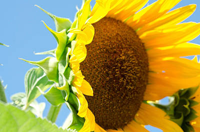 Photograph - Sunflower Study I by Margaret Pitcher