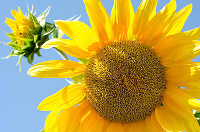 Photograph - Sunflower Study II by Margaret Pitcher