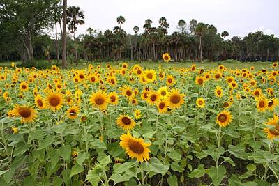 Photograph - Sunflowers by Jeanne Andrews