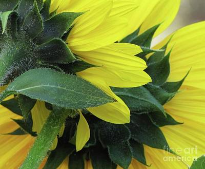 Photograph - Sunflowers by Michele Penner