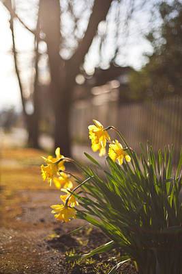 Daffodils Photograph - Sunlit Daffodils by Mike Reid