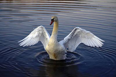 Pinion Photograph - Sunrise Swan by Brian Stevens