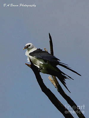 Photograph - Swallow Tailed Kite Eating by Barbara Bowen
