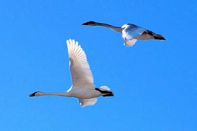 Swans On Blue Sky Art Print by Don Mann