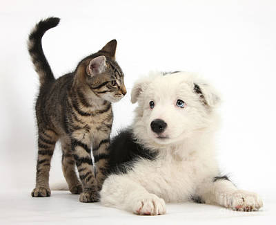 Herding Dog Photograph - Tabby Kitten & Border Collie by Mark Taylor