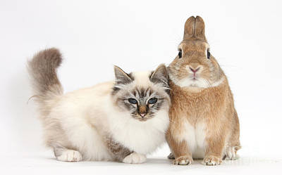Photograph - Tabby-point Birman Cat And Rabbit by Mark Taylor