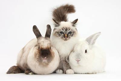 Photograph - Tabby-point Birman Cat And Rabbits by Mark Taylor