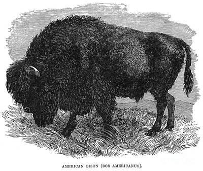 The Buffalo Art Print