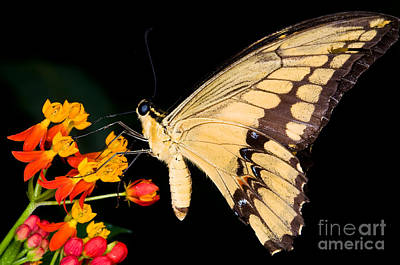 Papilio Thoas Photograph - Thoas Swallowtail Butterfly by Terry Elniski