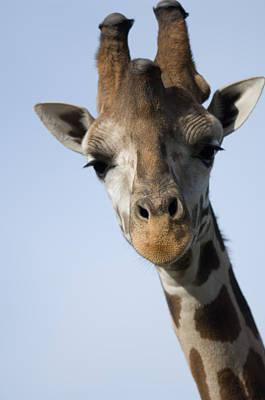 Thompsons Giraffe Giraffa Camelopardalis Art Print by Joel Sartore