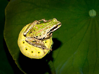 Photograph - Tree Frog by Jean Noren