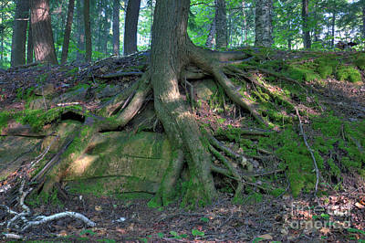 Over-exposed Photograph - Tree Growing Over A Rock by Ted Kinsman