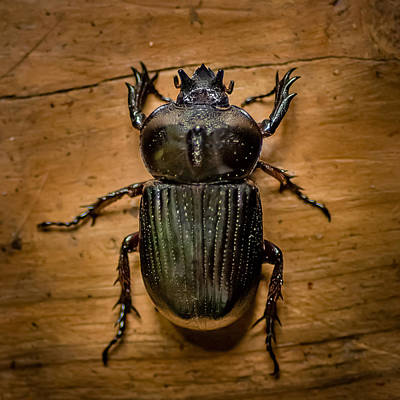 Photograph - Triceratops Beetle  by Gene Hilton