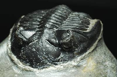 Trilobite Fossil Art Print by Lawrence Lawry