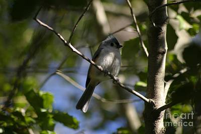 Photograph - Tufted Titmouse 2 by Living Color Photography Lorraine Lynch