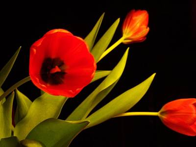 Photograph - Tulip Arrangement 2 by Peter Mooyman