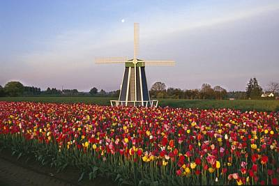 Tulip Field And Windmill Art Print by Natural Selection Craig Tuttle