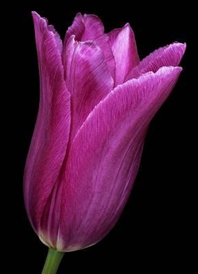 Spring Bulbs Photograph - Tulip (tulipa Gesneriana) by Dr. Nick Kurzenko