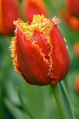 Spring Bulbs Photograph - Tulip (tulipa 'willem Van Orange') by Adrian Thomas