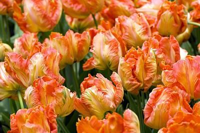 Spring Bulbs Photograph - Tulips (tulipa 'professor Rontgen') by Adrian Thomas