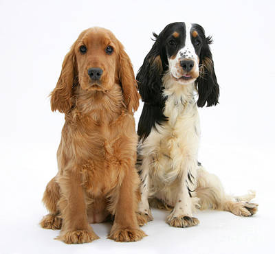 Golden Cockers  - Two Cocker Spaniels by Mark Taylor