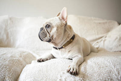 Usa, New York State, New York City, Portrait Of French Bulldog Lying Down On Sofa Art Print by Jessica Peterson