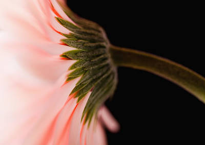 Y120907 Photograph - Usa, Utah, Lehi, Close-up Of Pink Daisy by Mike Kemp